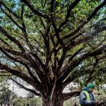 چرا درخت انجیر عظیم کنیا بر یک رئیس جمهور پیروز شد